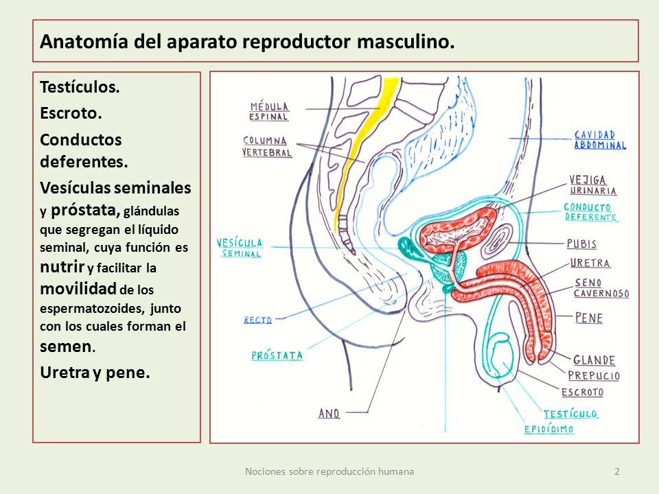 Famoso Anatomía De Reproducción Friso - Imágenes de Anatomía Humana ...