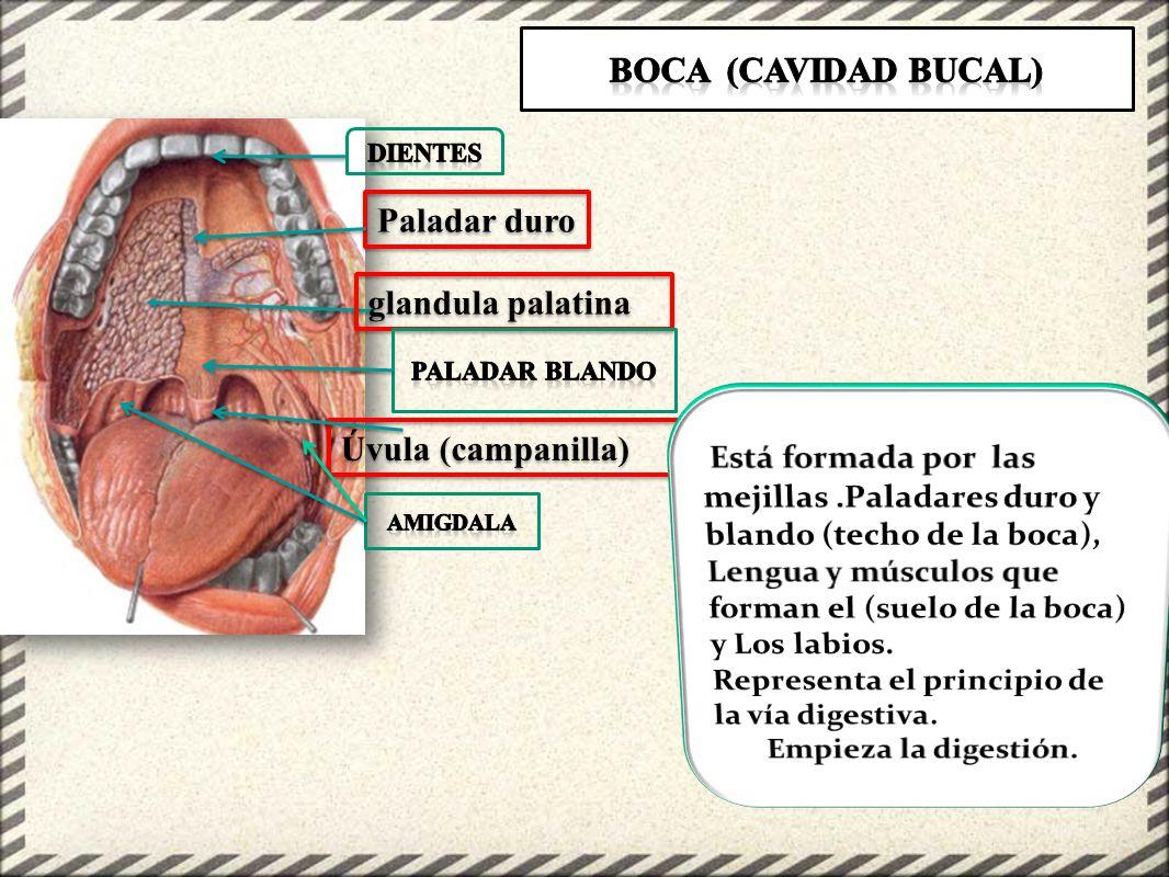 Hermosa Techo De La Boca Anatomía Molde - Anatomía de Las ...