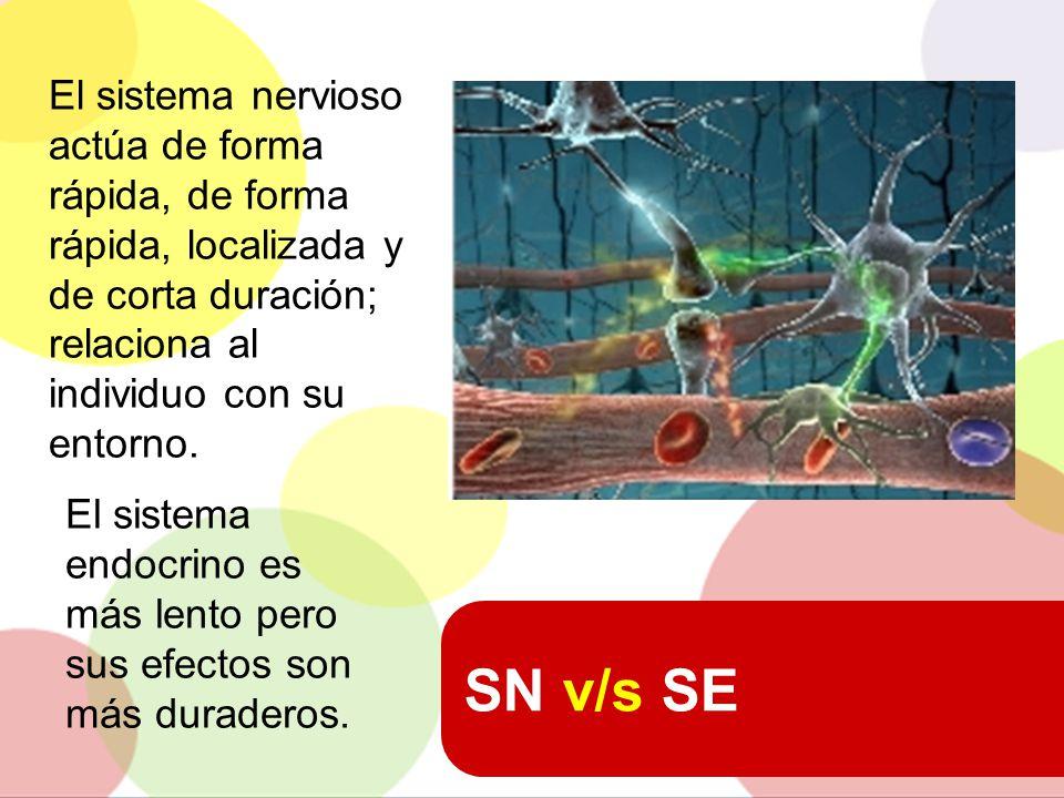 El sistema nervioso actúa de forma rápida, de forma rápida, localizada y de corta duración; relaciona al individuo con su entorno.