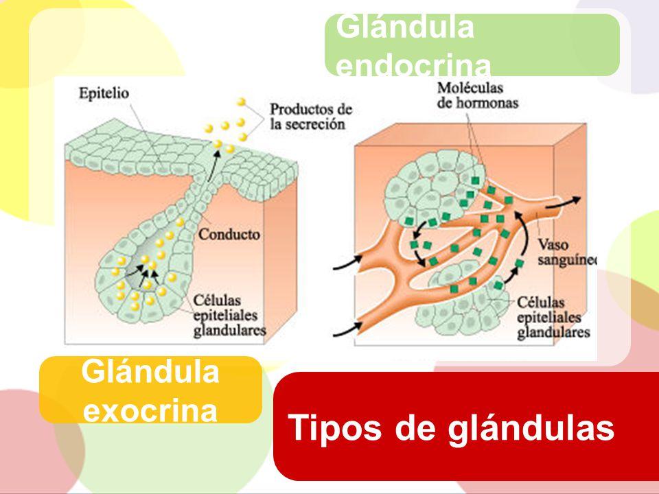 Glándula endocrina Glándula exocrina Tipos de glándulas