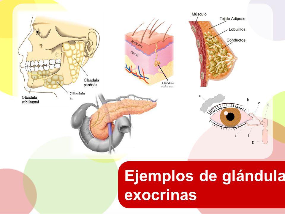 Ejemplos de glándulas exocrinas