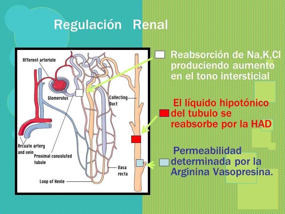 Regulación Renal Reabsorción de Na,K,Cl produciendo aumento en el tono intersticial. El líquido hipotónico del tubulo se reabsorbe por la HAD.