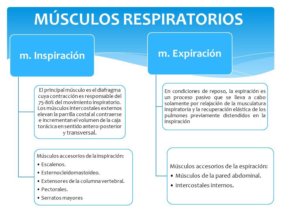 Magnífico Los Músculos Respiratorios Embellecimiento - Imágenes de ...