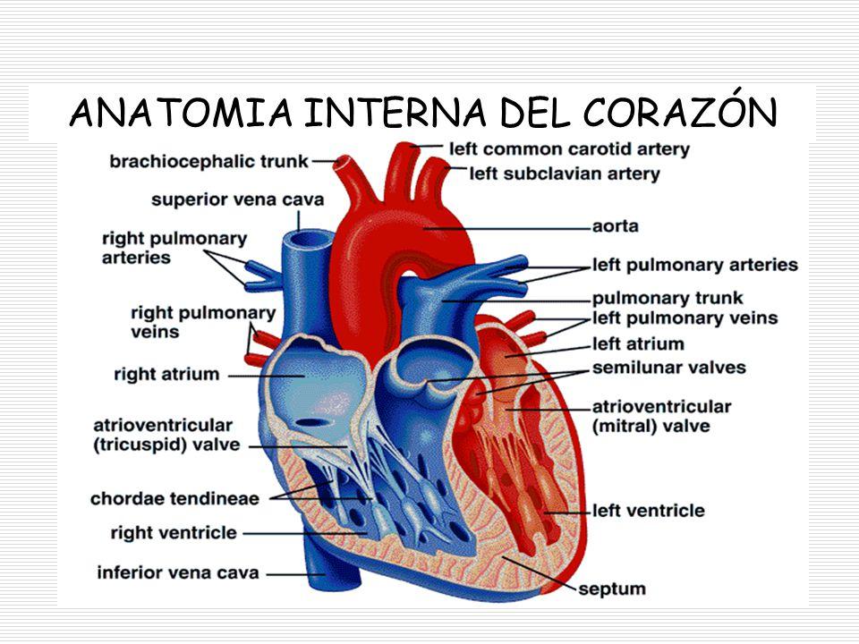 Moderno La Anatomía Del Corazón Vista Interior Colección de Imágenes ...