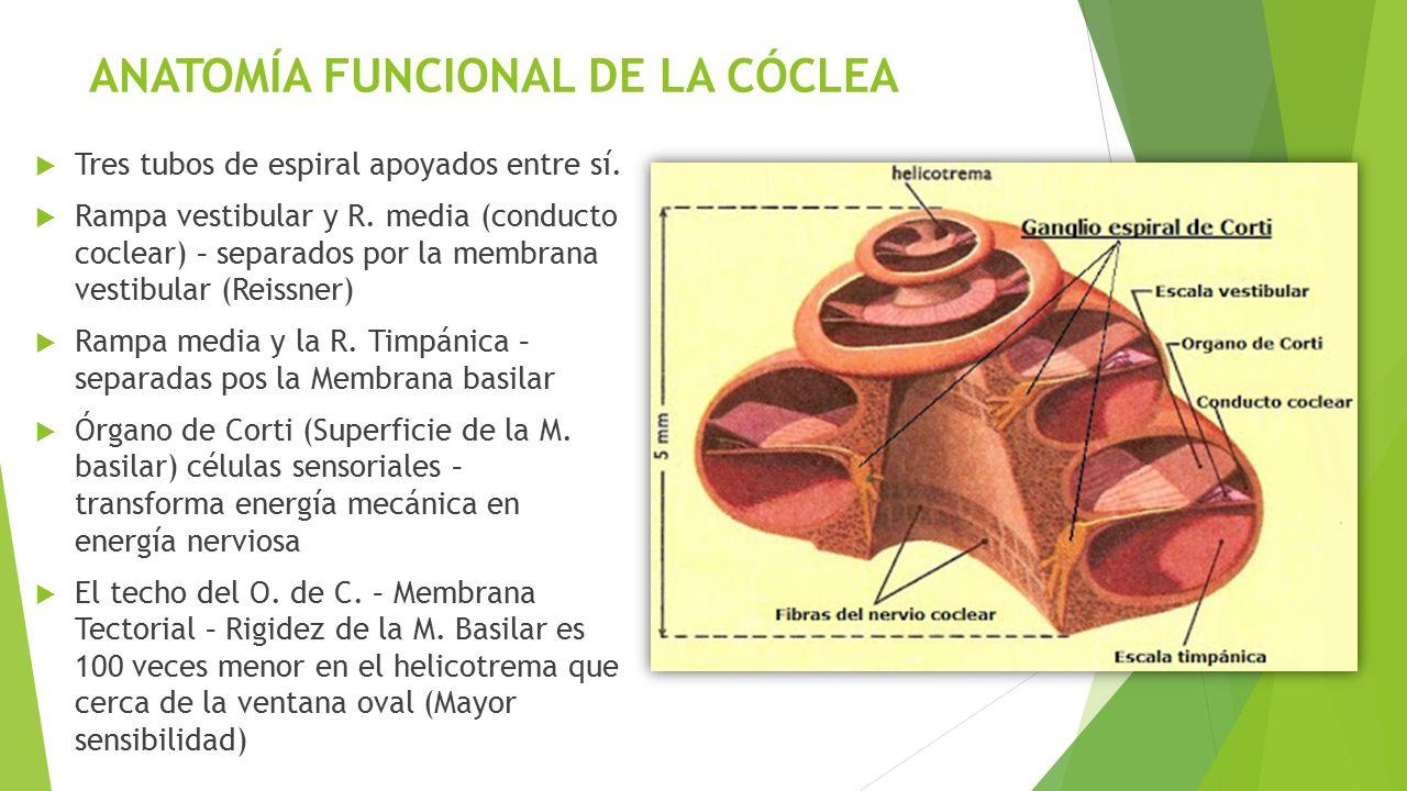 Dorable Anatomía De La Cóclea Ilustración - Anatomía de Las ...