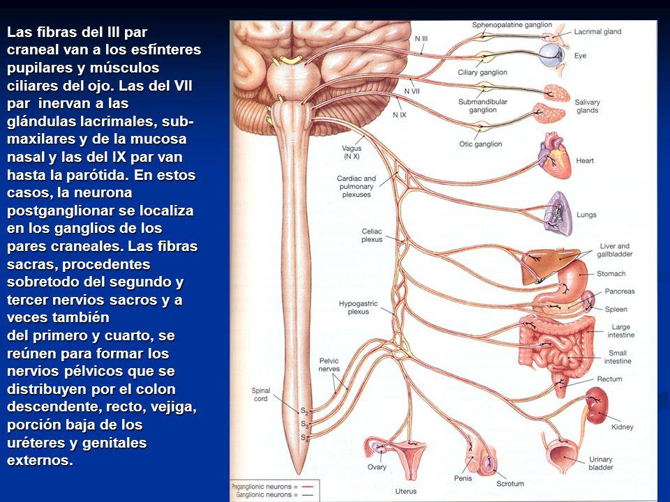 Sistema nervioso aut nomo ppt descargar for Cuarto par craneal