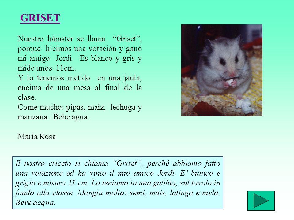 GRISET Nuestro hámster se llama Griset , porque hicimos una votación y ganó mi amigo Jordi. Es blanco y gris y mide unos 11cm.