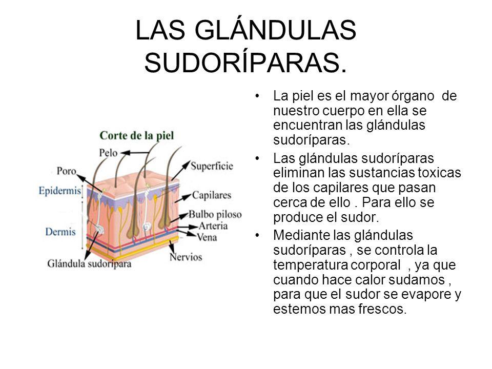 LAS GLÁNDULAS SUDORÍPARAS.