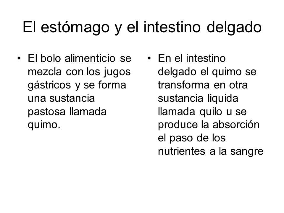 El estómago y el intestino delgado