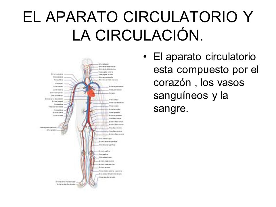 EL APARATO CIRCULATORIO Y LA CIRCULACIÓN.