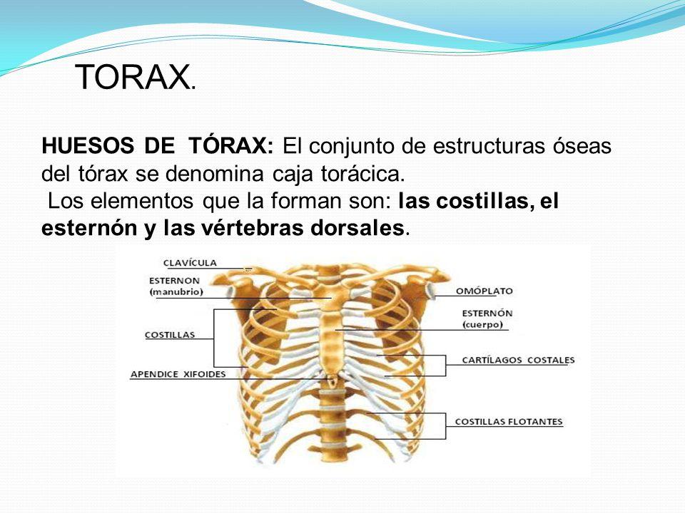 TORAX. HUESOS DE TÓRAX: El conjunto de estructuras óseas del tórax se denomina caja torácica.