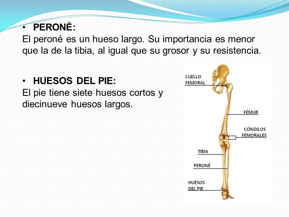 PERONÉ: El peroné es un hueso largo. Su importancia es menor que la de la tibia, al igual que su grosor y su resistencia.