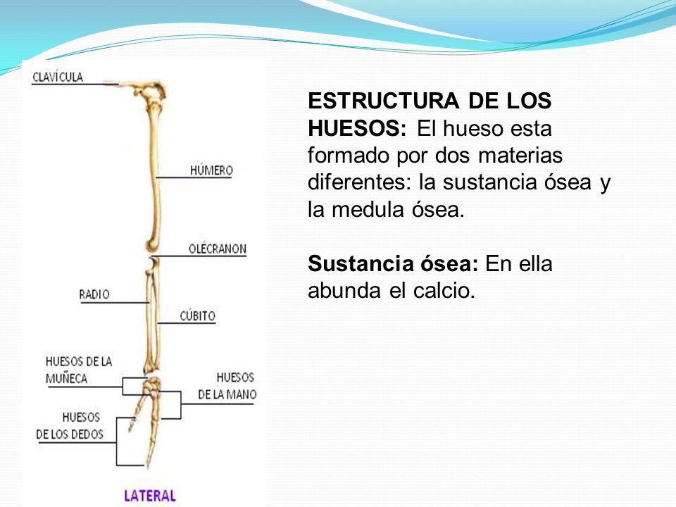 ESTRUCTURA DE LOS HUESOS: El hueso esta formado por dos materias diferentes: la sustancia ósea y la medula ósea.