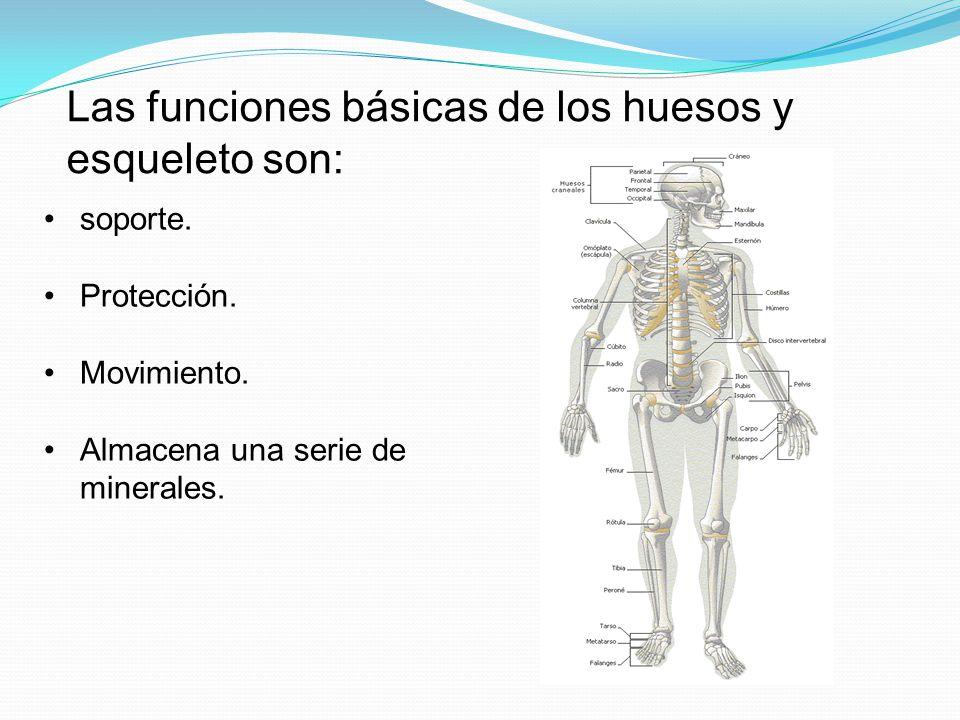 Las funciones básicas de los huesos y esqueleto son: