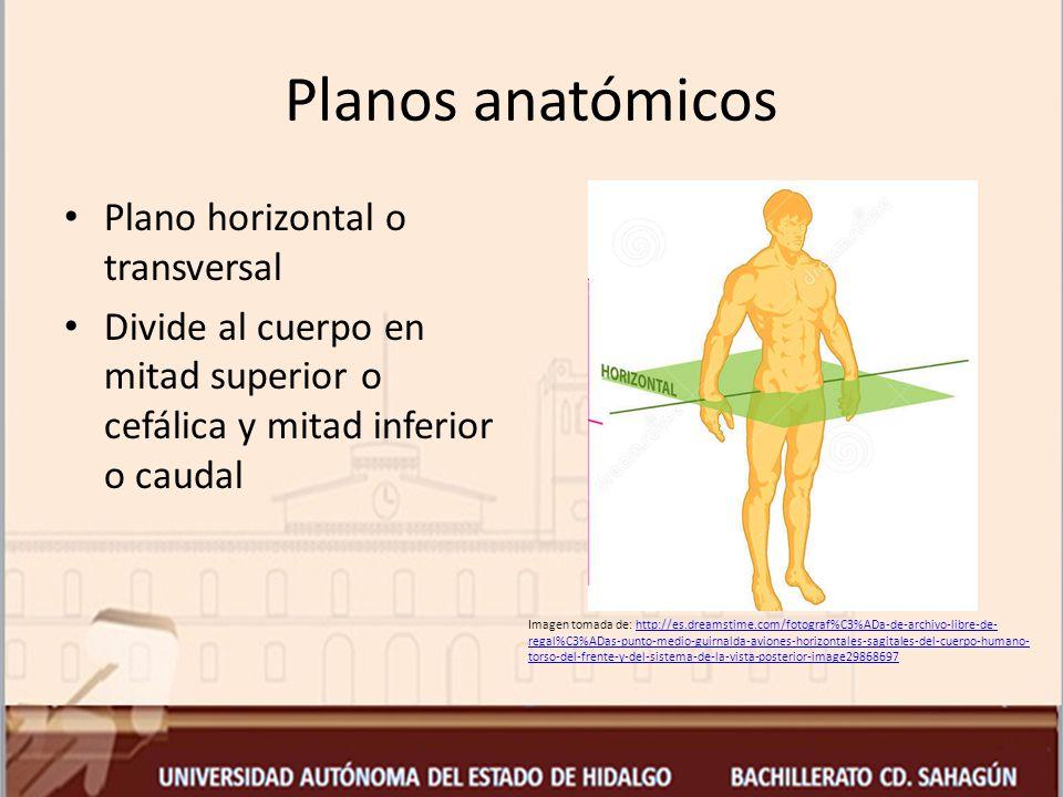 Planos anatómicos Plano horizontal o transversal