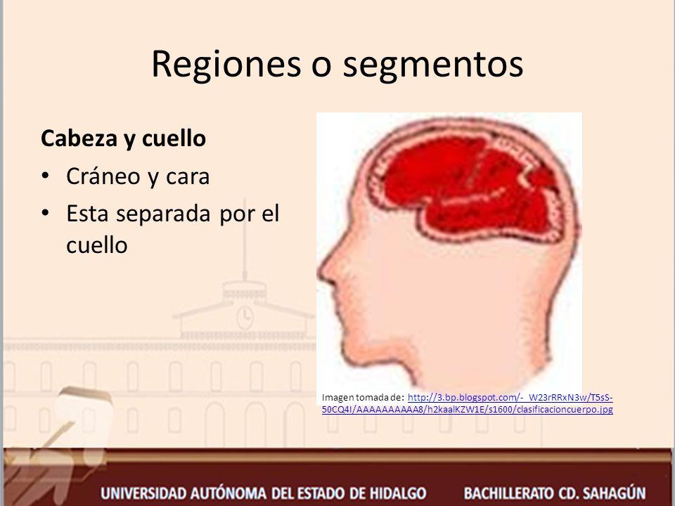 Regiones o segmentos Cabeza y cuello Cráneo y cara