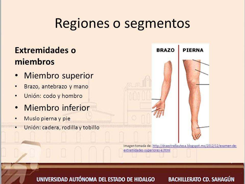 Bonito Miembros Superiores Anatomía Ideas - Imágenes de Anatomía ...