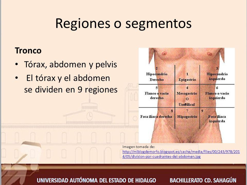 Regiones o segmentos Tronco Tórax, abdomen y pelvis