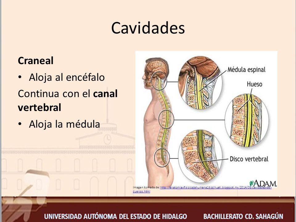 Cavidades Craneal Aloja al encéfalo Continua con el canal vertebral