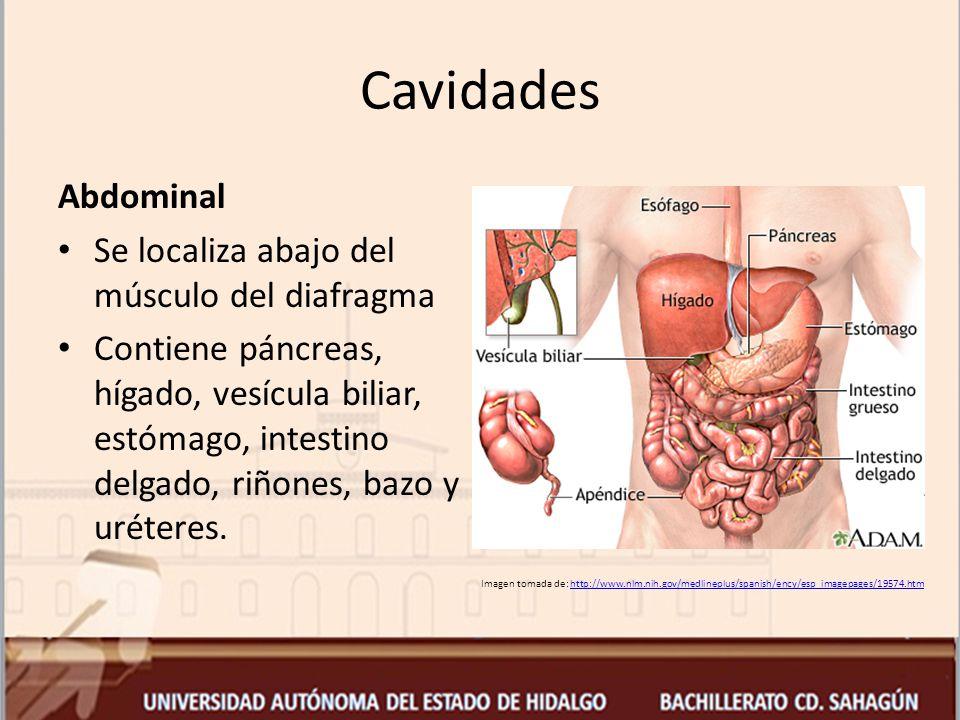 Cavidades Abdominal Se localiza abajo del músculo del diafragma
