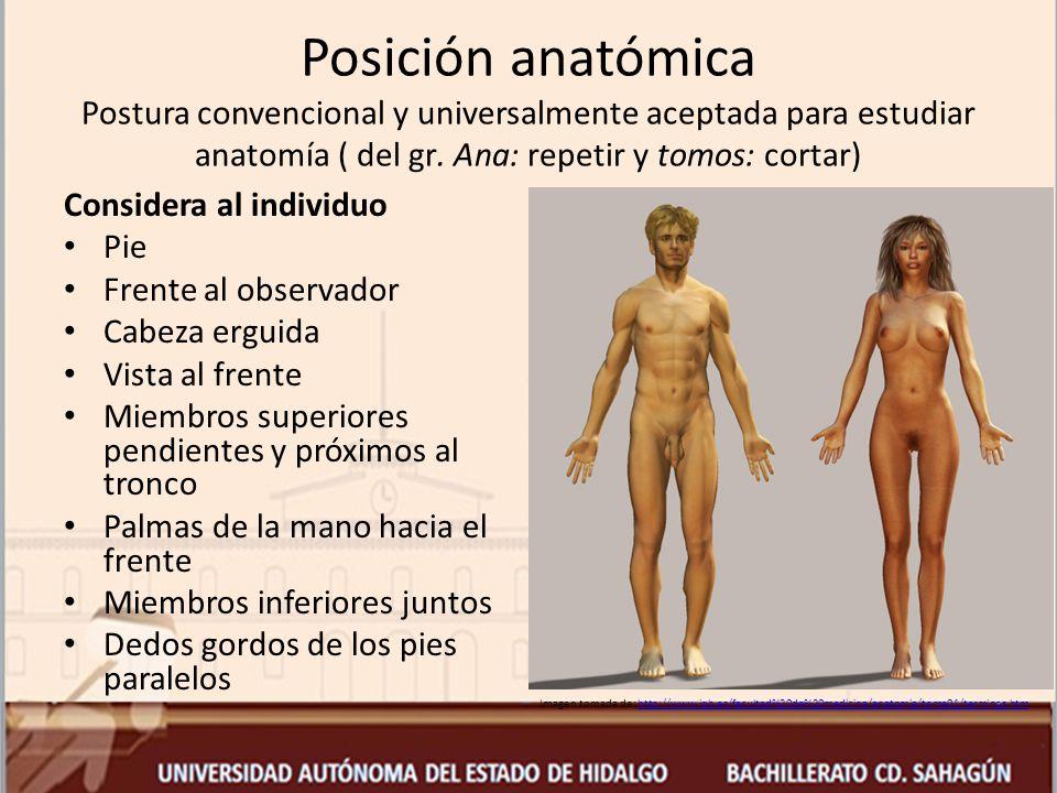 Posición anatómica Postura convencional y universalmente aceptada para estudiar anatomía ( del gr. Ana: repetir y tomos: cortar)