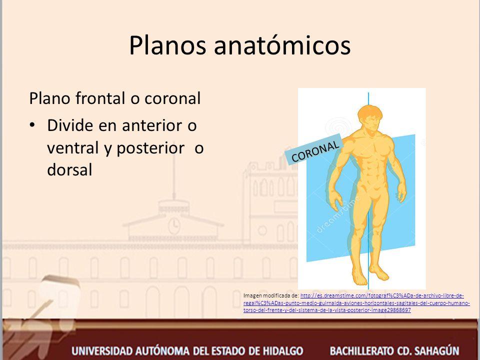 Planos anatómicos Plano frontal o coronal