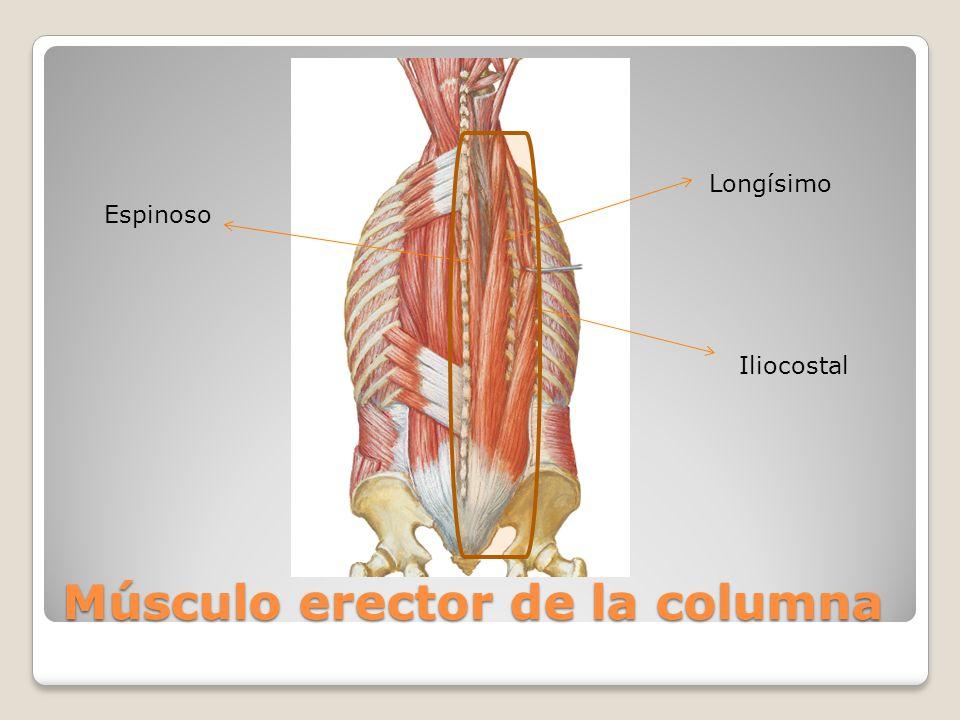 Increíble Columna Lumbar Anatomía Muscular Foto - Imágenes de ...