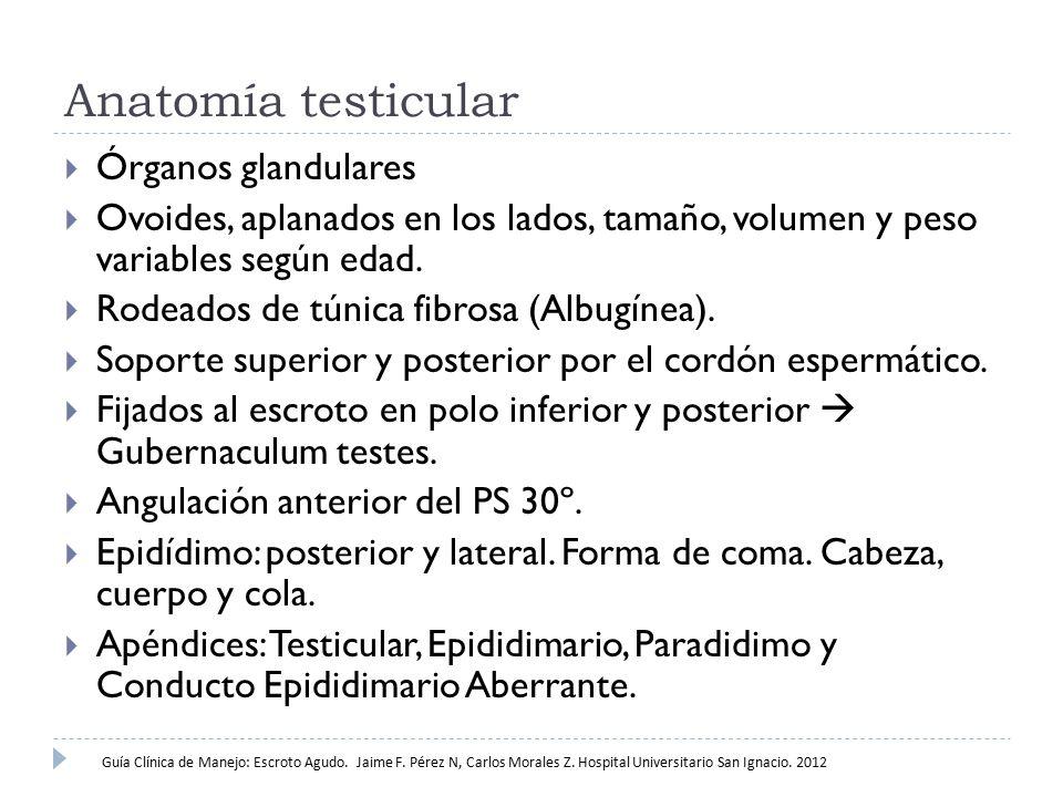 Anatomía testicular Órganos glandulares