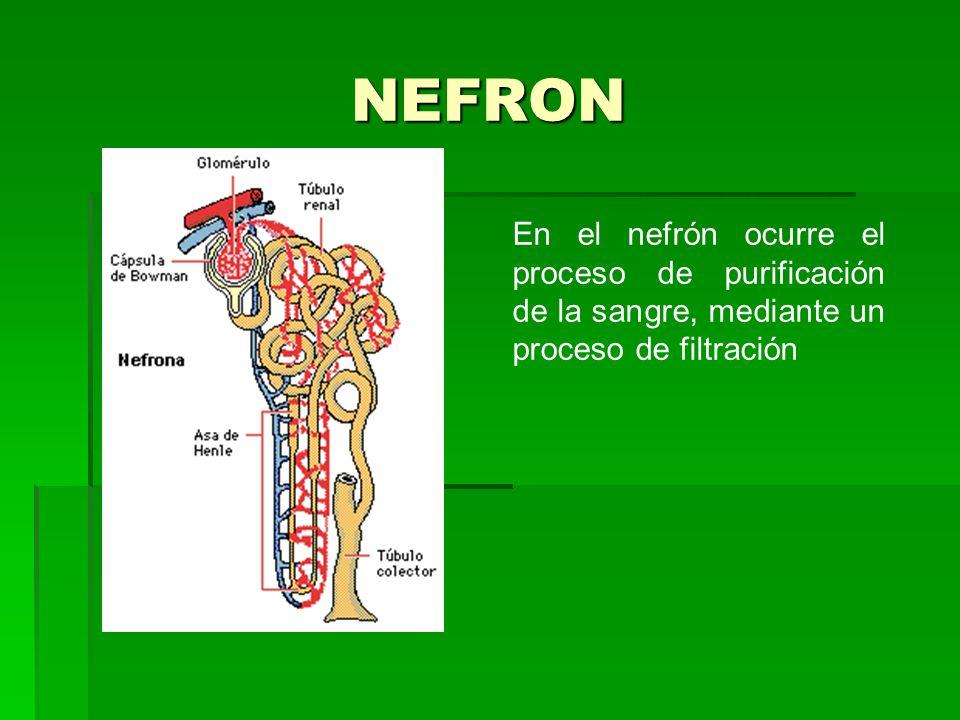 NEFRON En el nefrón ocurre el proceso de purificación de la sangre, mediante un proceso de filtración.