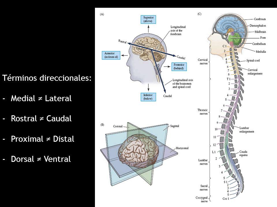 Bonito Términos Direccionales Anatomía Modelo - Imágenes de Anatomía ...