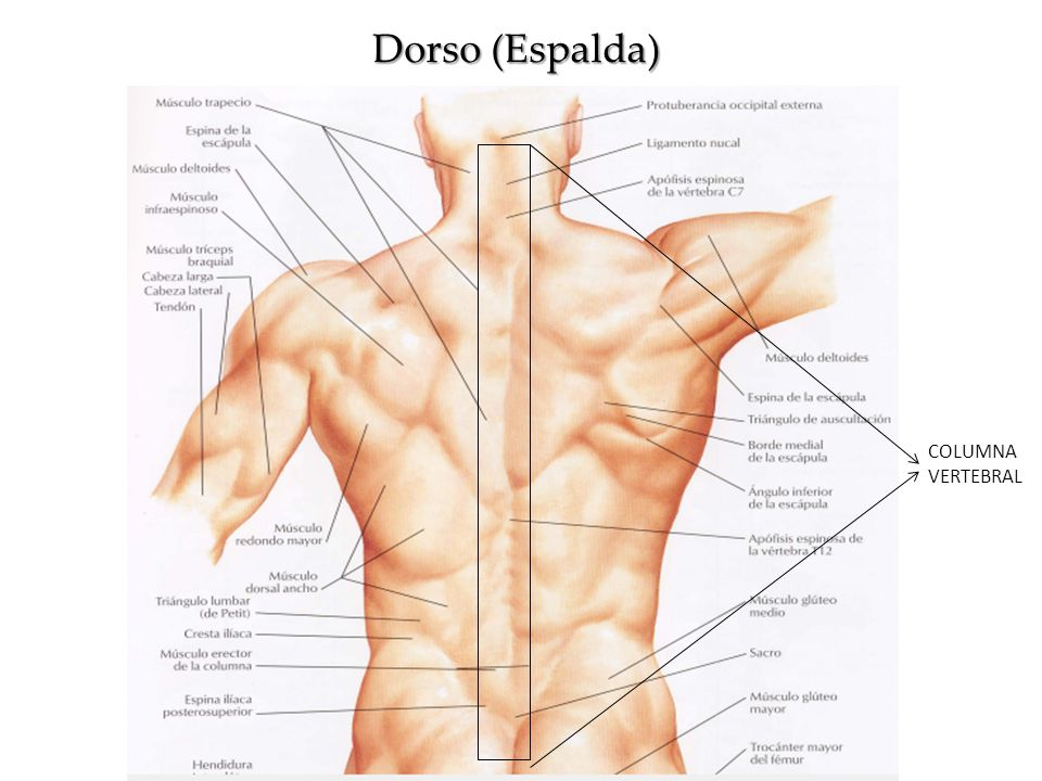 Dorable Columna Cervical Anatomía Muscular Bosquejo - Anatomía de ...
