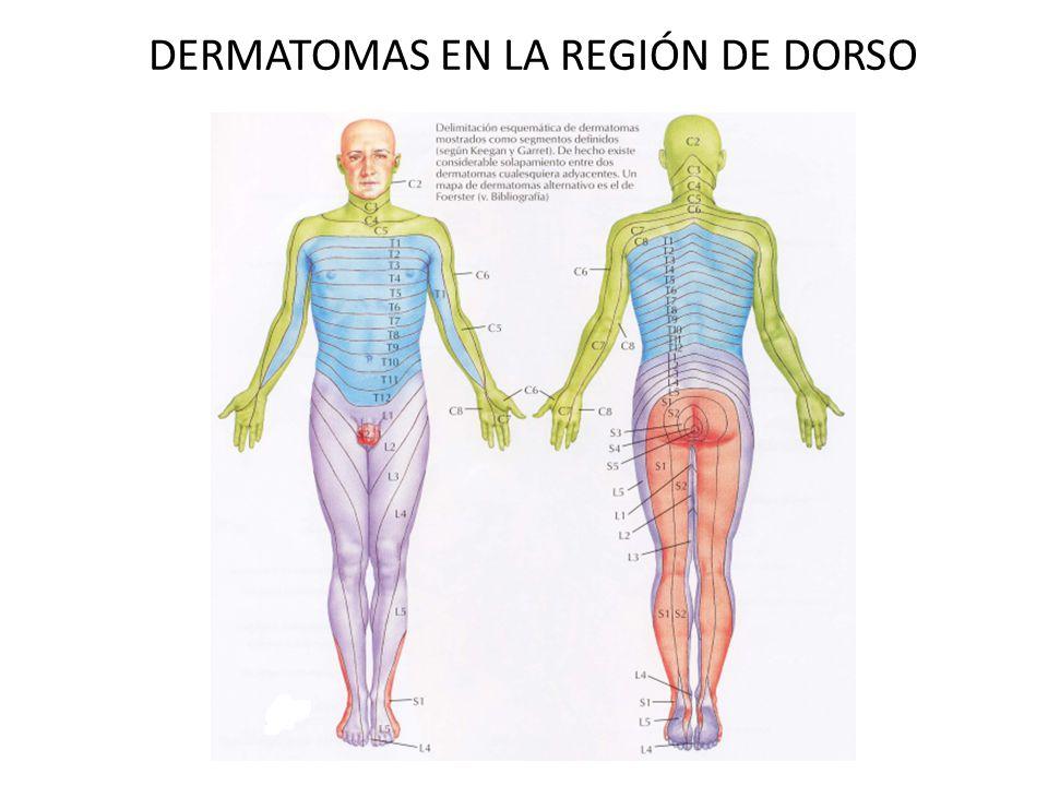 Excelente Foto Dermatoma Composición - Anatomía de Las Imágenesdel ...