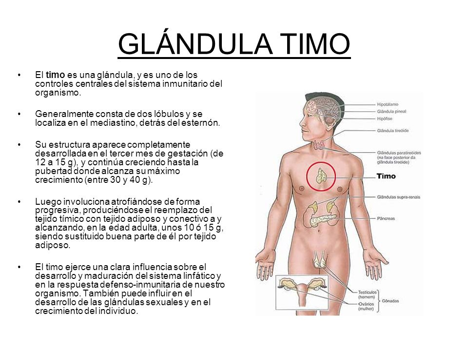 Dorable Función De La Glándula Timo Bosquejo - Imágenes de Anatomía ...