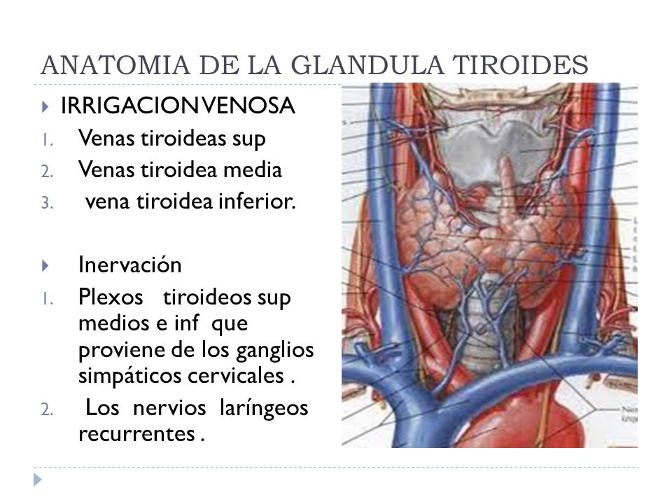 Lujo Anatomía Y Fisiología De La Glándula Tiroides Ppt Friso ...