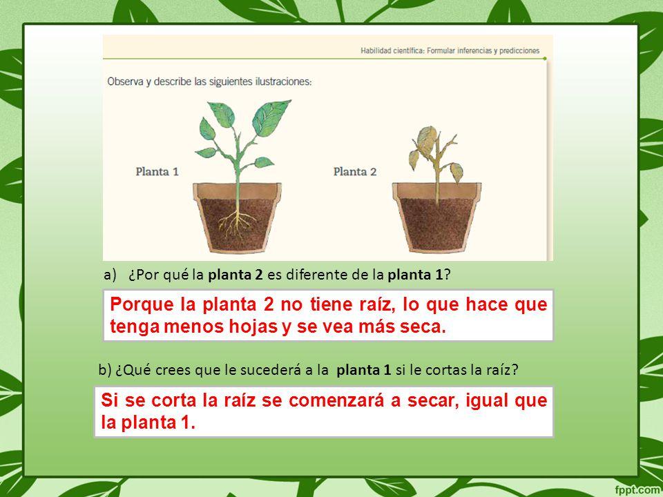 Si se corta la raíz se comenzará a secar, igual que la planta 1.