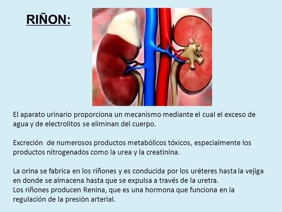 APARATO URINARIO Dr. JORGE A. FUNES C.. - ppt descargar