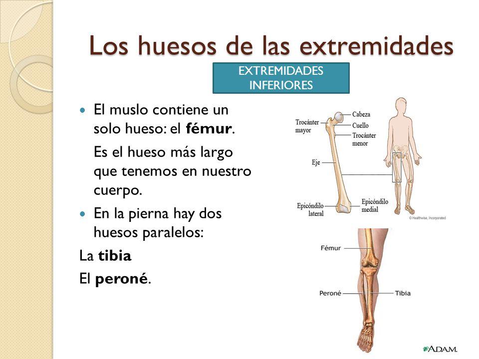 Perfecto Hueso Inferior De La Pierna Viñeta - Imágenes de Anatomía ...