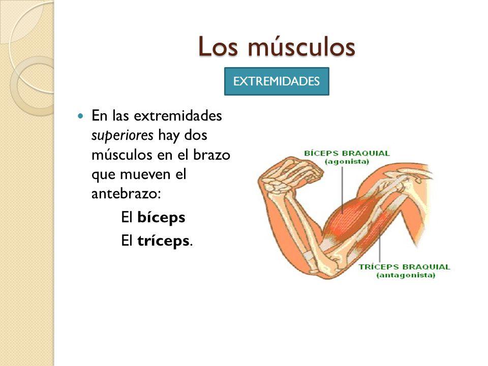 Excepcional Músculos De Los Brazos Inferiores Colección de Imágenes ...