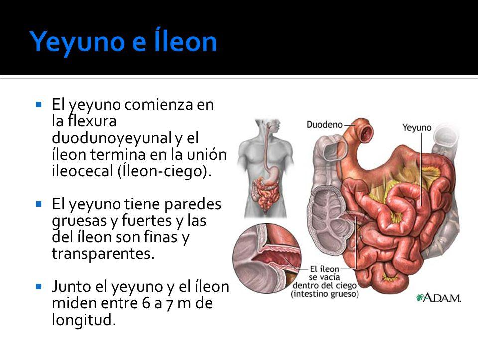 Lujoso Longitud íleon Colección de Imágenes - Anatomía de Las ...