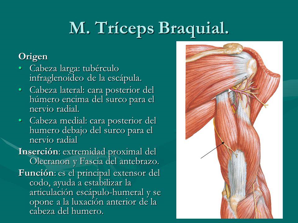 Moderno Tríceps Anatomía Y Función Friso - Anatomía de Las ...