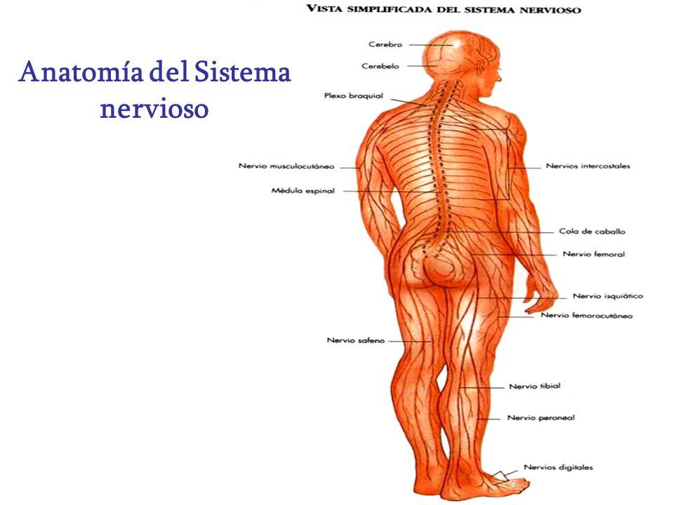 Anatomía del Sistema nervioso - ppt video online descargar