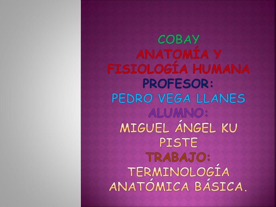 COBAY ANATOMÍA Y FISIOLOGÍA HUMANA PROFESOR: PEDRO VEGA LLANES Alumno: miguel Ángel ku piste TRABAJO: terminología anatómica básica.