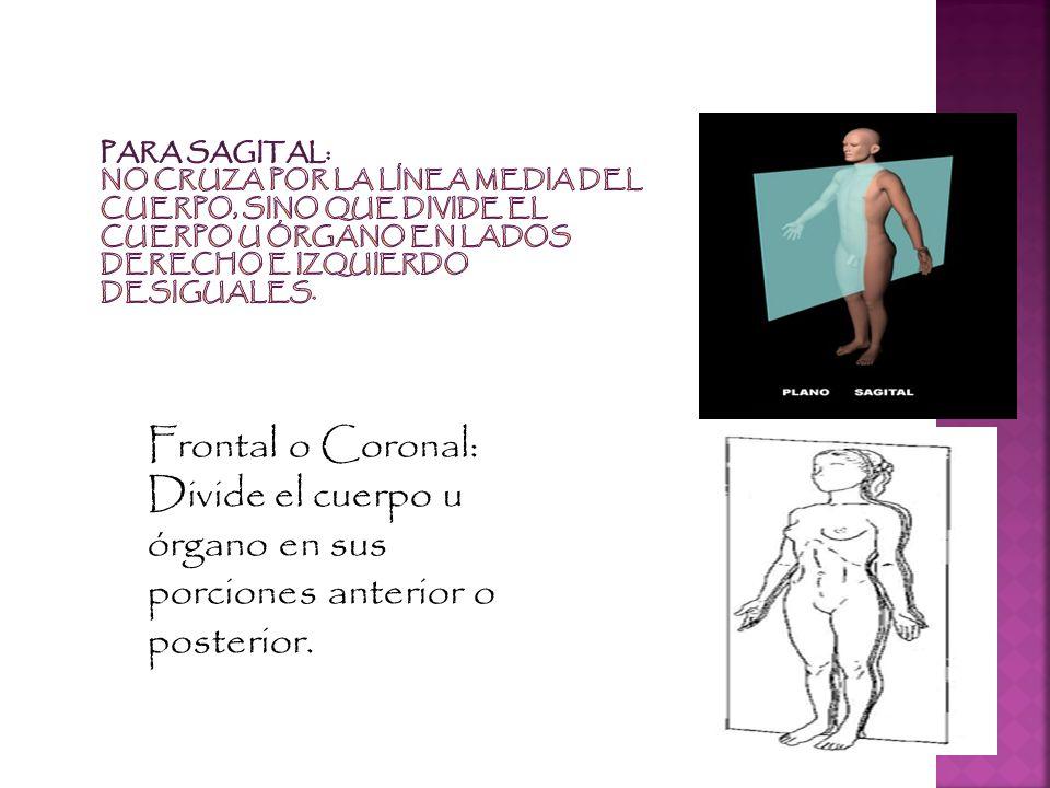 Divide el cuerpo u órgano en sus porciones anterior o posterior.