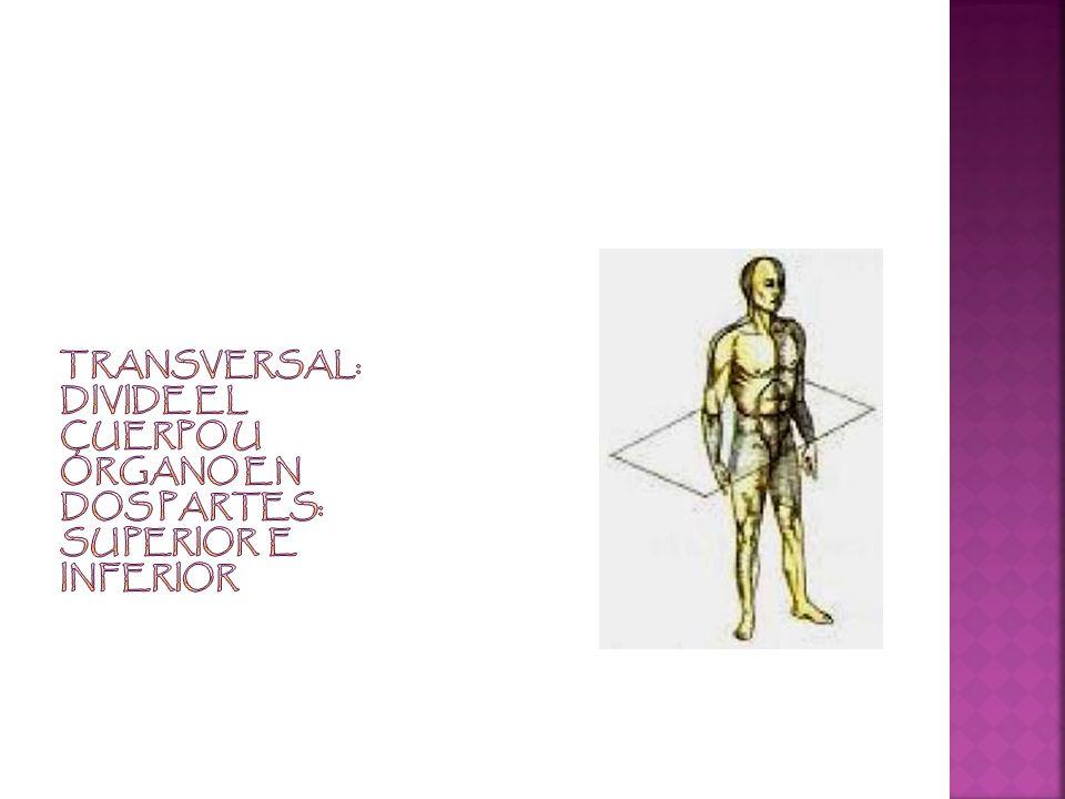 Transversal: Divide el cuerpo u órgano en dos partes: superior e inferior