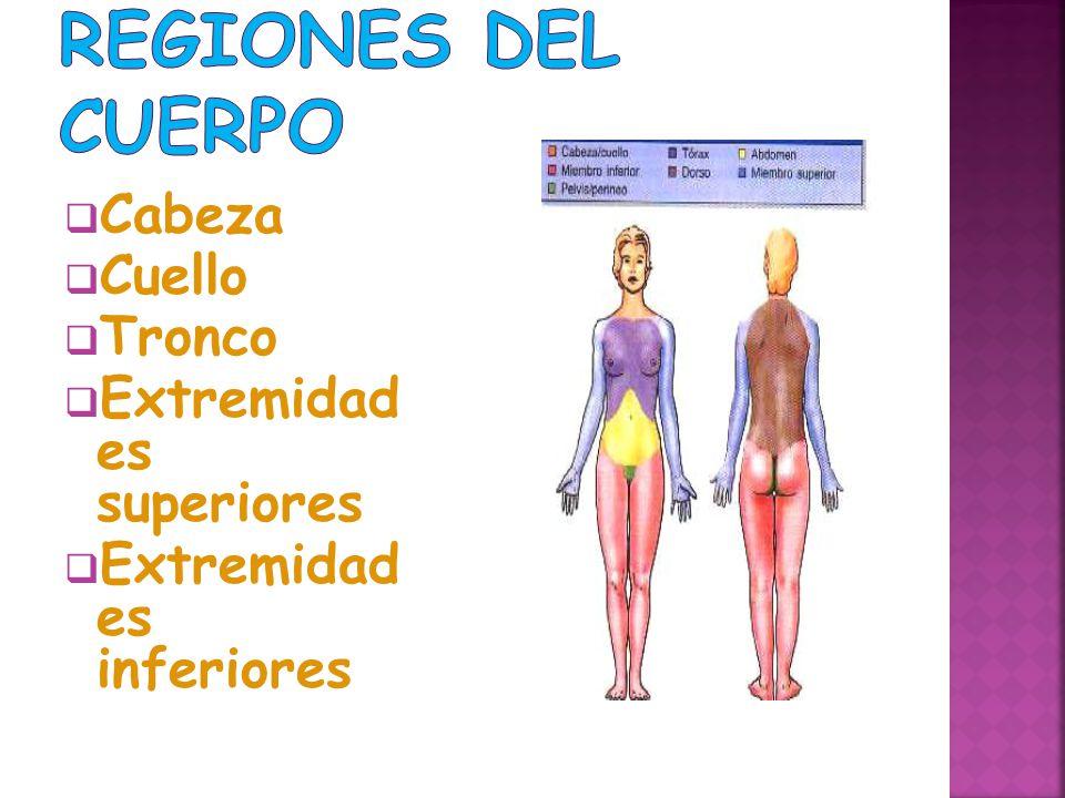 Regiones del cuerpo Cabeza Cuello Tronco Extremidad es superiores