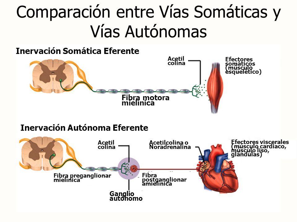 Comparación entre Vías Somáticas y Vías Autónomas