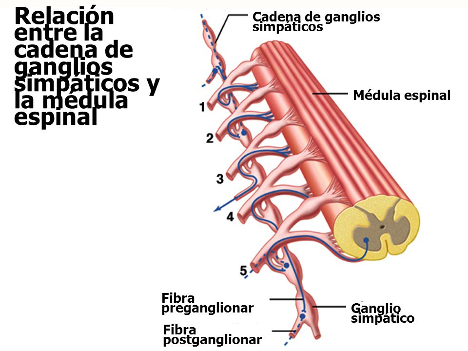 Relación entre la cadena de ganglios simpáticos y la médula espinal