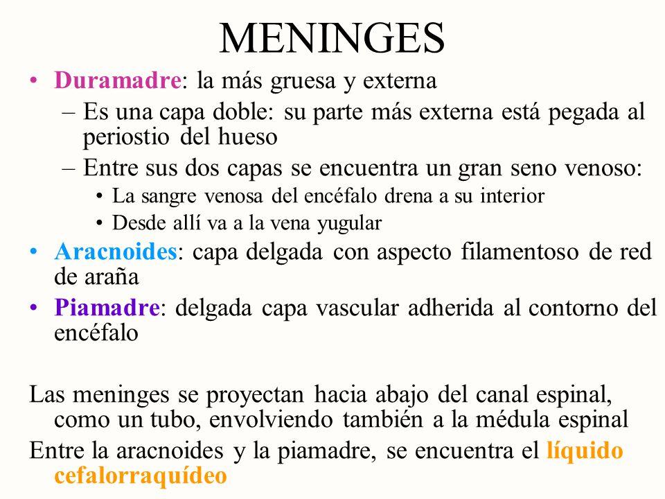 MENINGES Duramadre: la más gruesa y externa