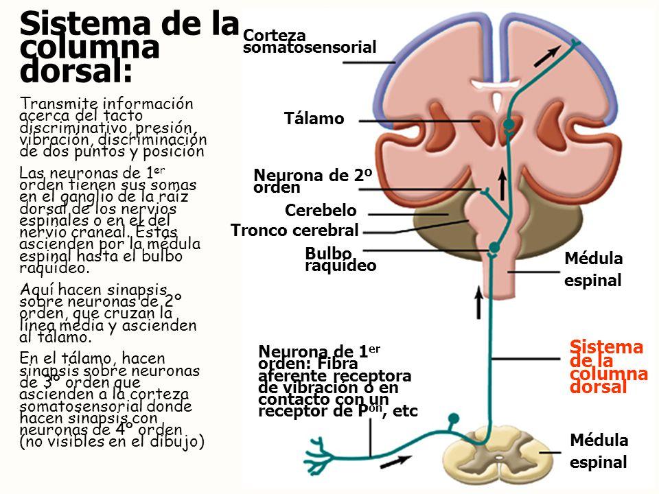 Sistema de la columna dorsal: