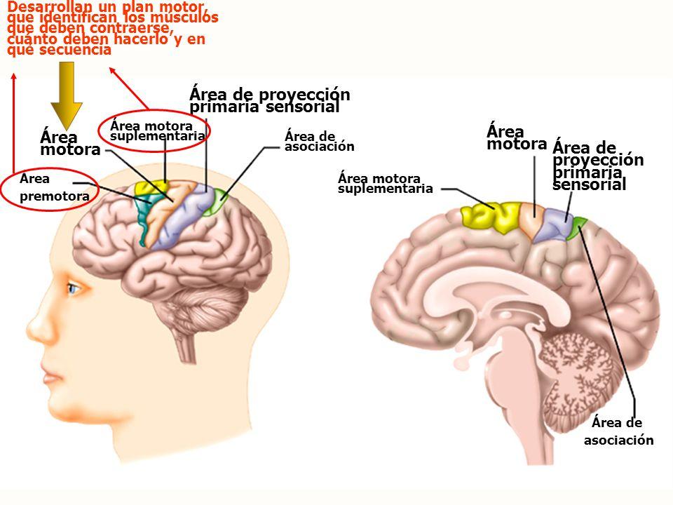 Área de proyección primaria sensorial